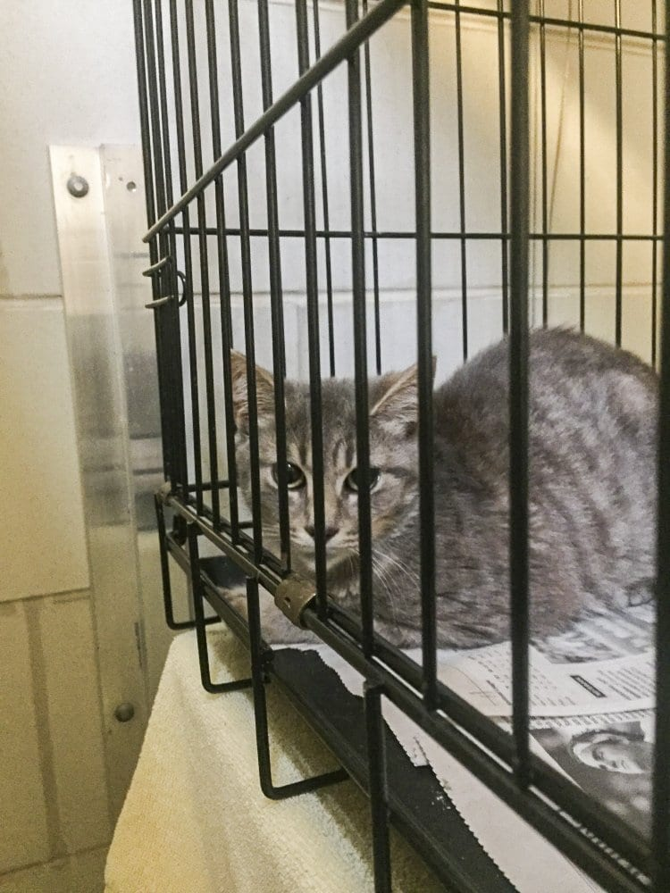 One of the 82 cats seized at a Falls Church home on Saturday, Sept. 17. (Photo: Courtesy of the Fairfax County Police Department)