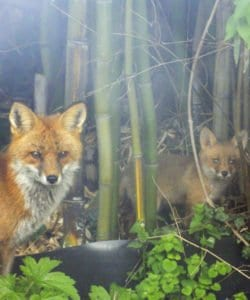618foxes